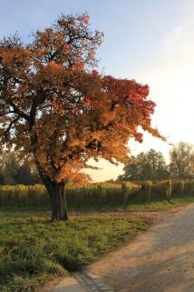 Lake Constance Vineyards: autumn tree
