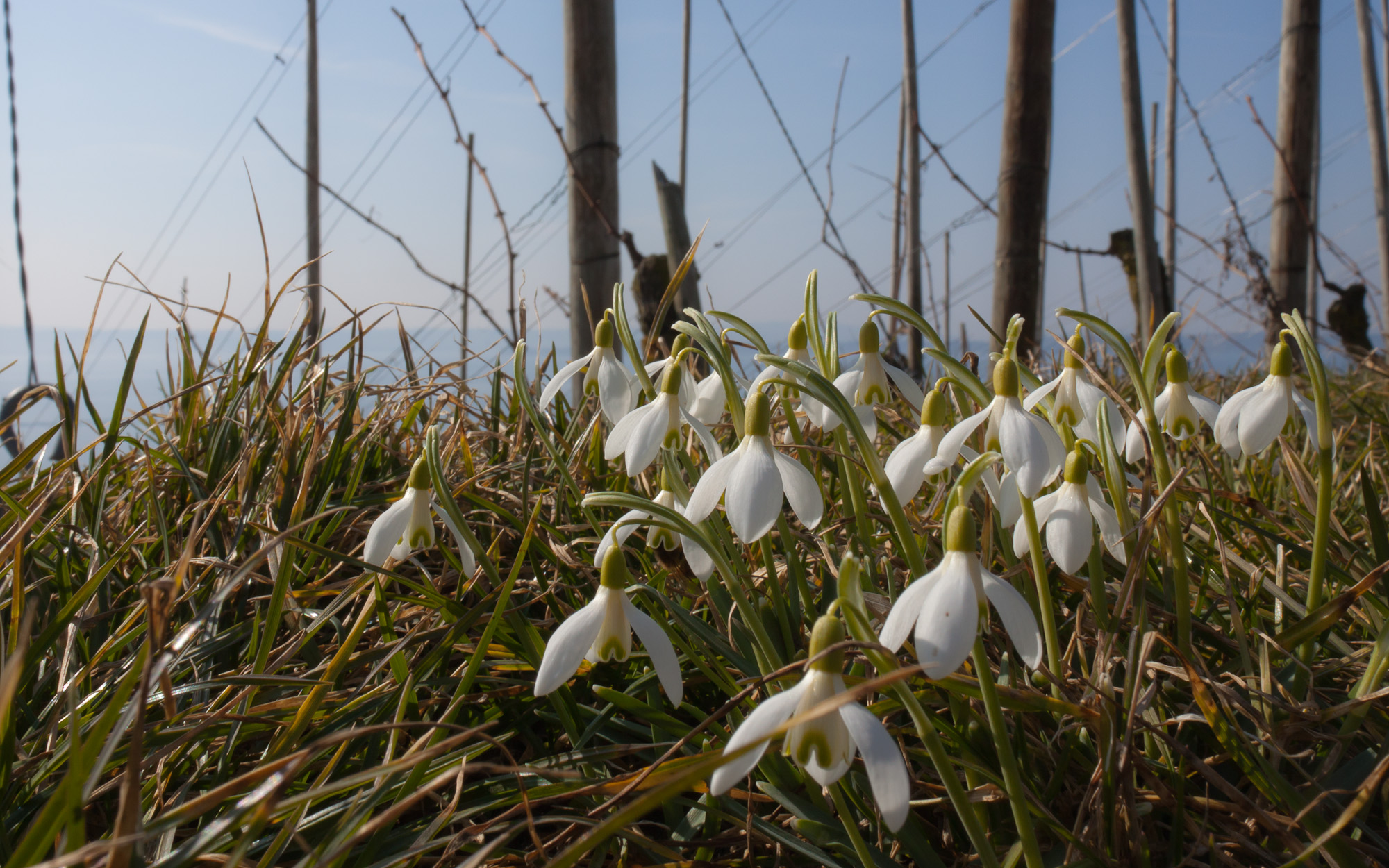Snowdrops - Spring creeping up on a winter vineyard