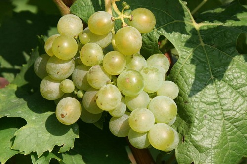 Müller-Thurgau grapes. Photo by Rosenzweig, licensed CC Attribution-ShareAlike 3.0 Unported