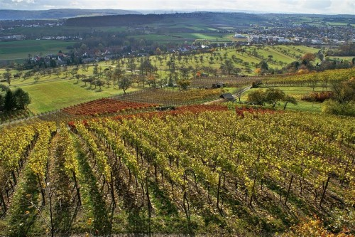The vineyard. Photo by Augenstein, licensed CC BY-SA 3.0