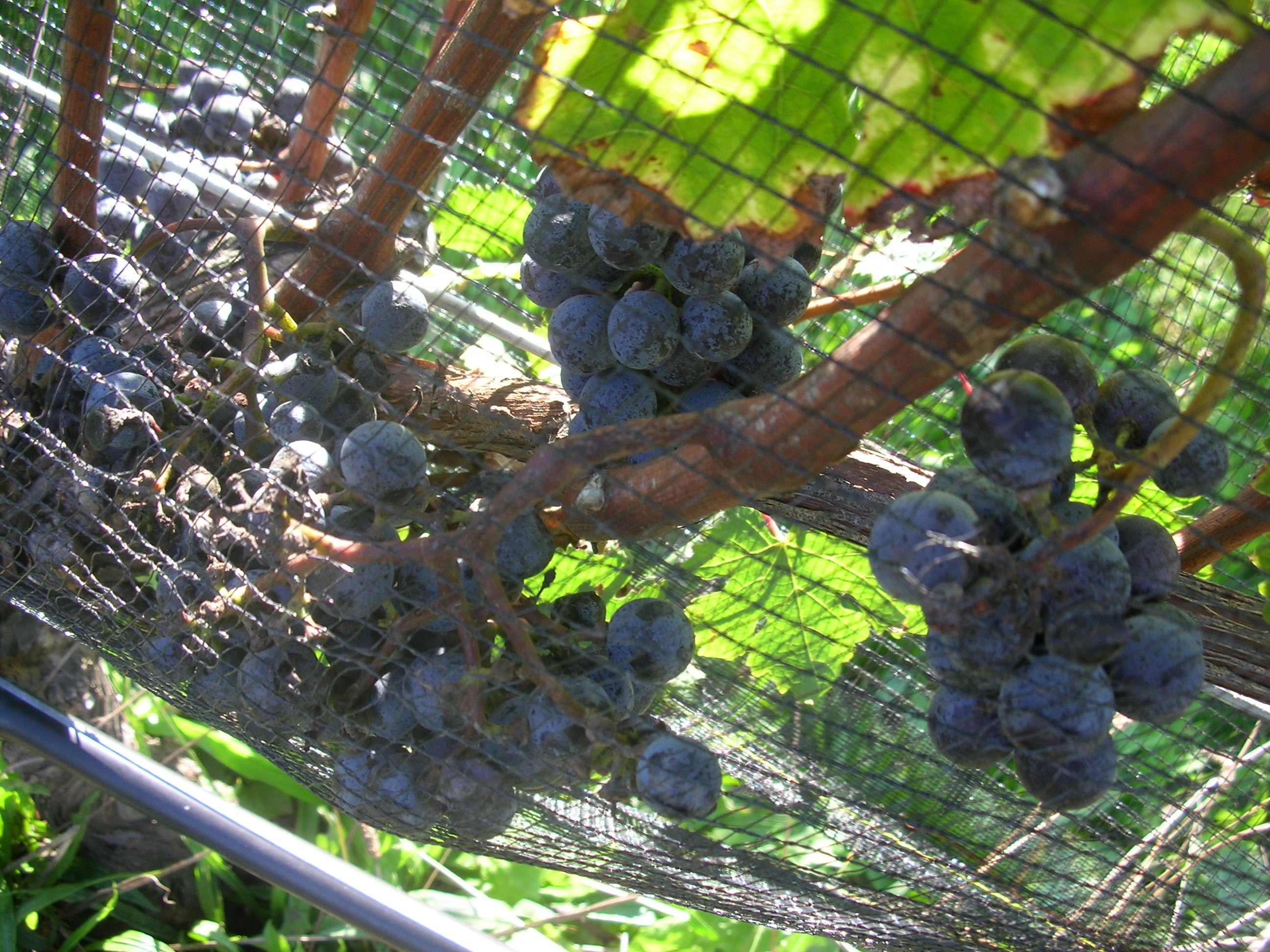 2010 Merlot awaiting the harvest