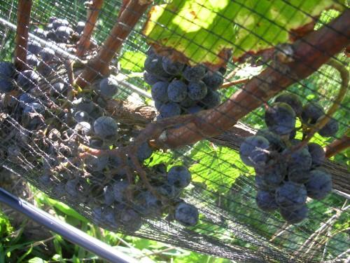 2010 Merlot awaiting the harvest