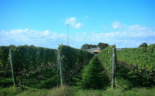 Shinn winery and vines
