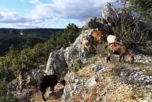 Goats above the Ardèche